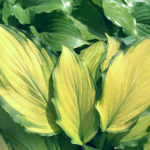 Lady Guinevere hosta