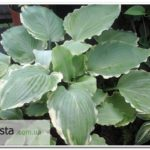 Lakeside Breaking News hosta