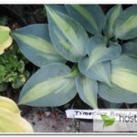 Timeless Beauty hosta