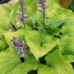 Coast to Coast hosta