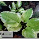 Wave Runner hosta