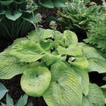 Pebble Creek hosta