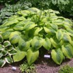 Royal Flush hosta