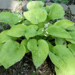 Rosedale Lost Dutchman hosta