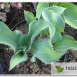 Regalia hosta