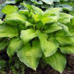 Midwest Magic hosta