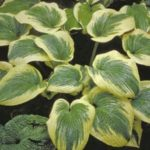 Hampshire County Hosta
