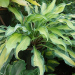 Hawaian Luau hosta
