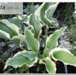 80_Tropical-Dancer_hosta_2018_1