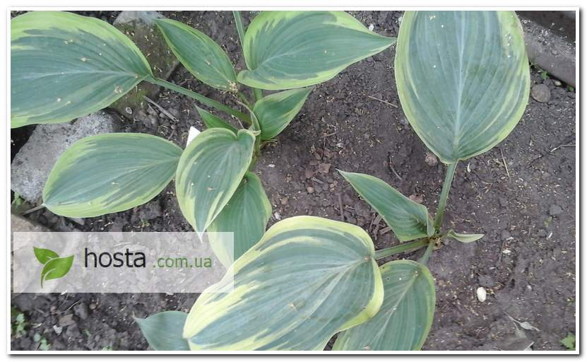Хоста Лэйксайд Фанси Пэнтс, hosta Lakeside Fancy Pants